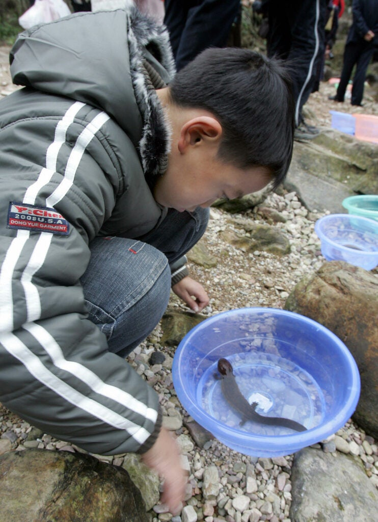 A boy gets a closer look at a baby Chinese giant salamander