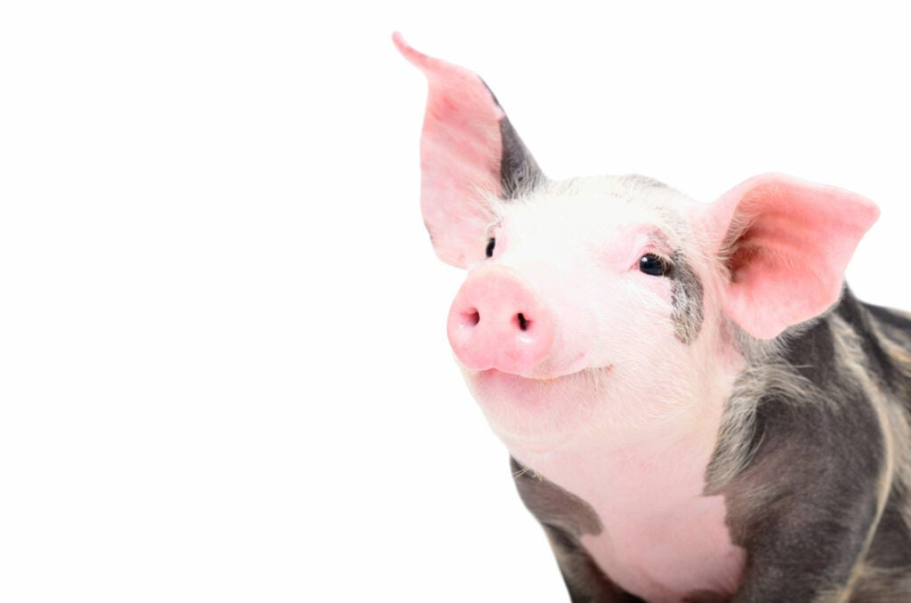 Portrait of a cute cheerful pig Isolated on white background