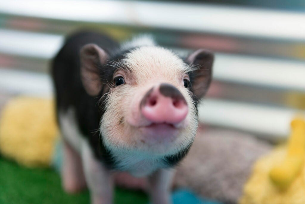 Closeup of mini pig baby.