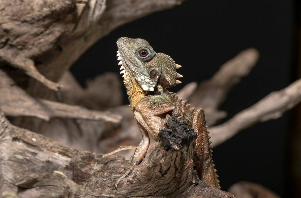 A Boyd's forest dragon sits on the branch of a tree.