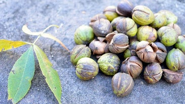 Hickory leaves and nuts