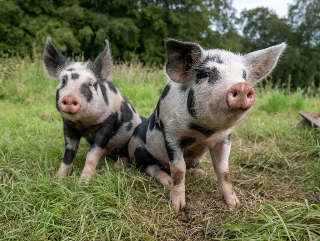 Two piglet sisters sitting together in their field