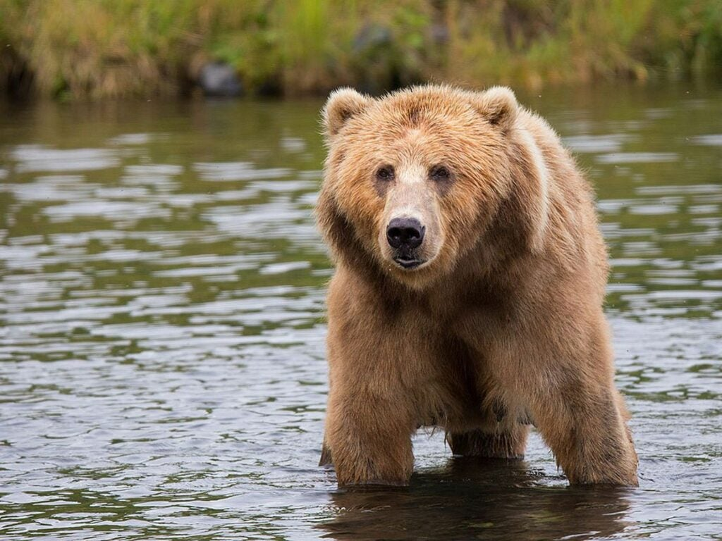 Bears can see better than most outdoorsmen think.