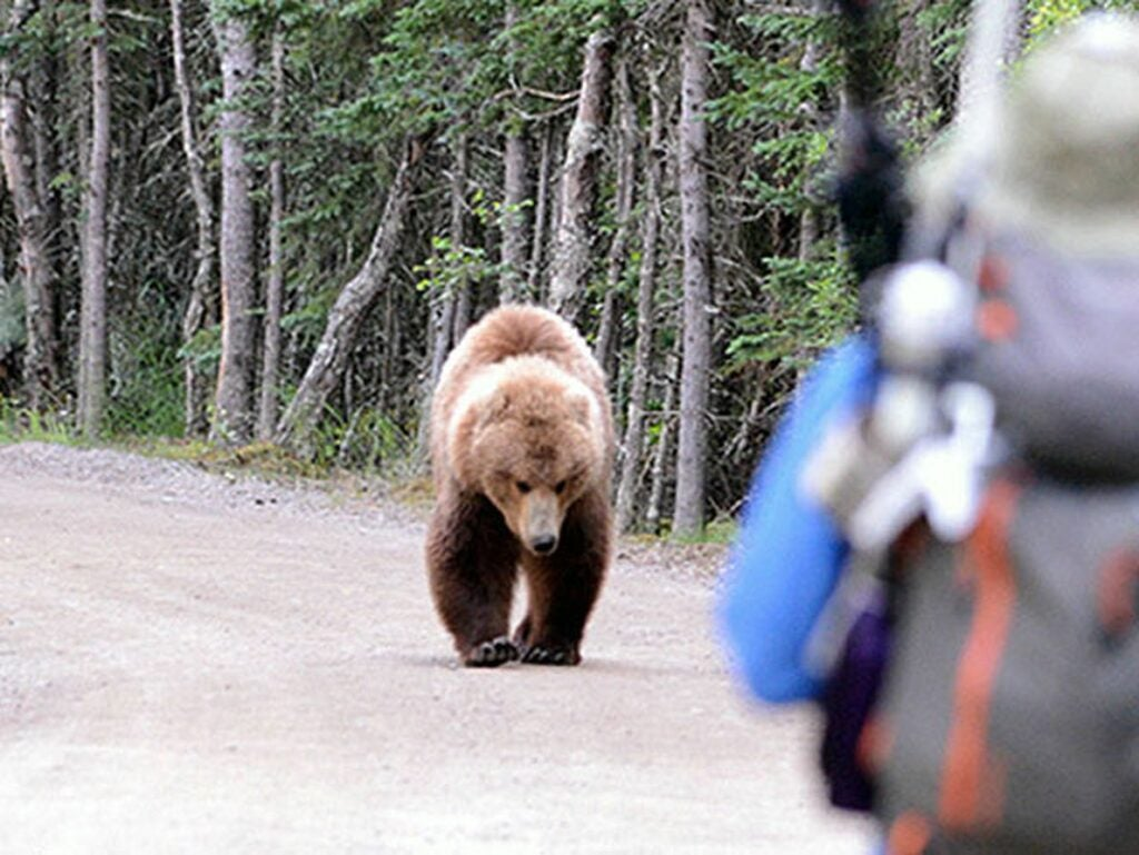 A grizzly makes its way toward a party of hikers.
