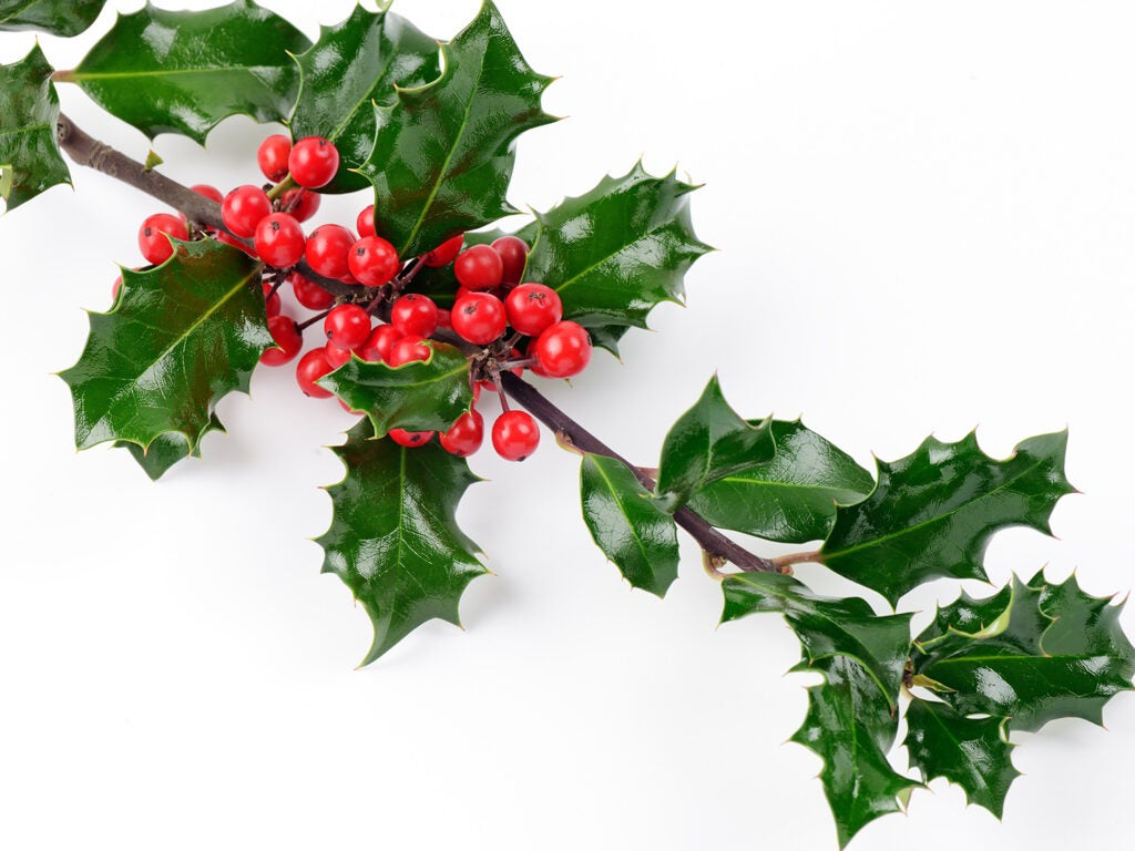 holly leaves and berries