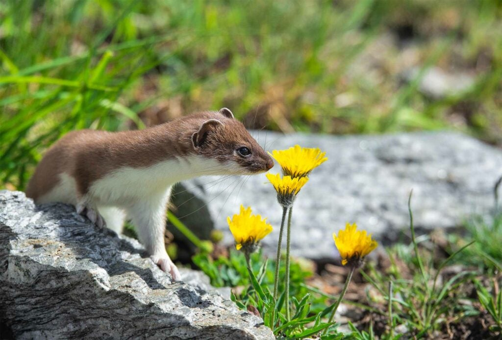 Stoat smelling yellow flowers