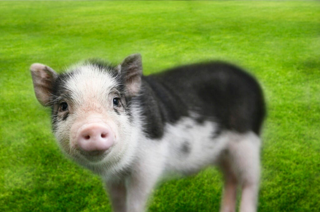 Mini pig on grass background