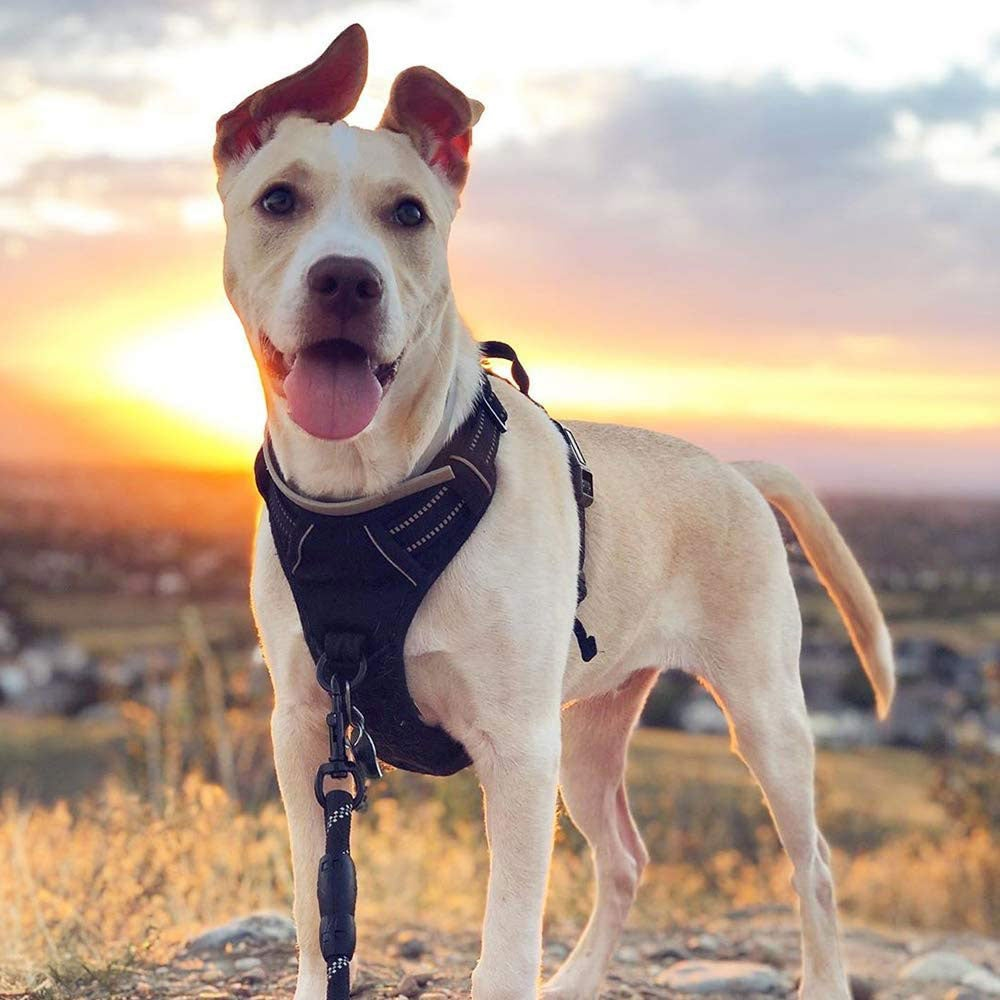 Adorable white dog at sunset