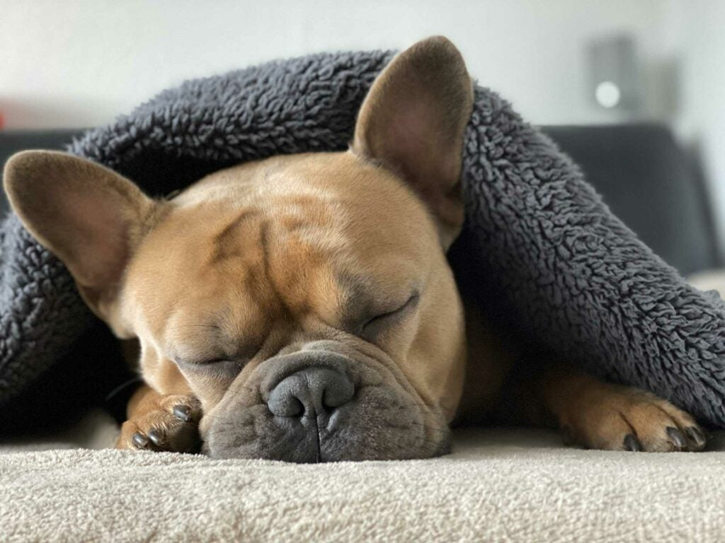 Sleepy French bulldog