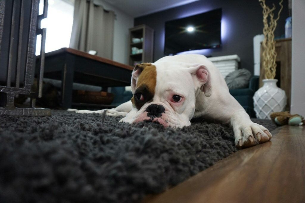 Cute boxer dog lying on a carpet