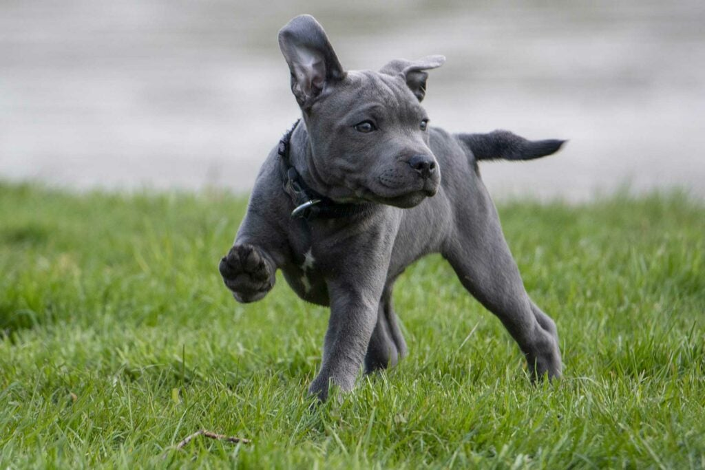 Grey puppy running through grass