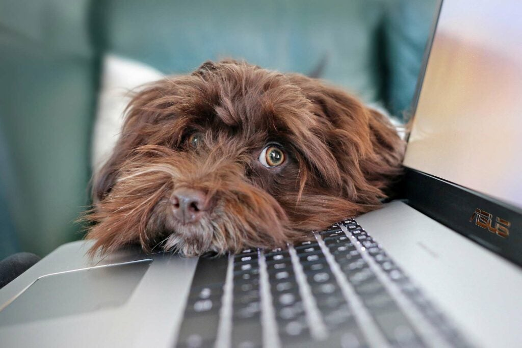Shaggy brown dog with its head resting on laptop