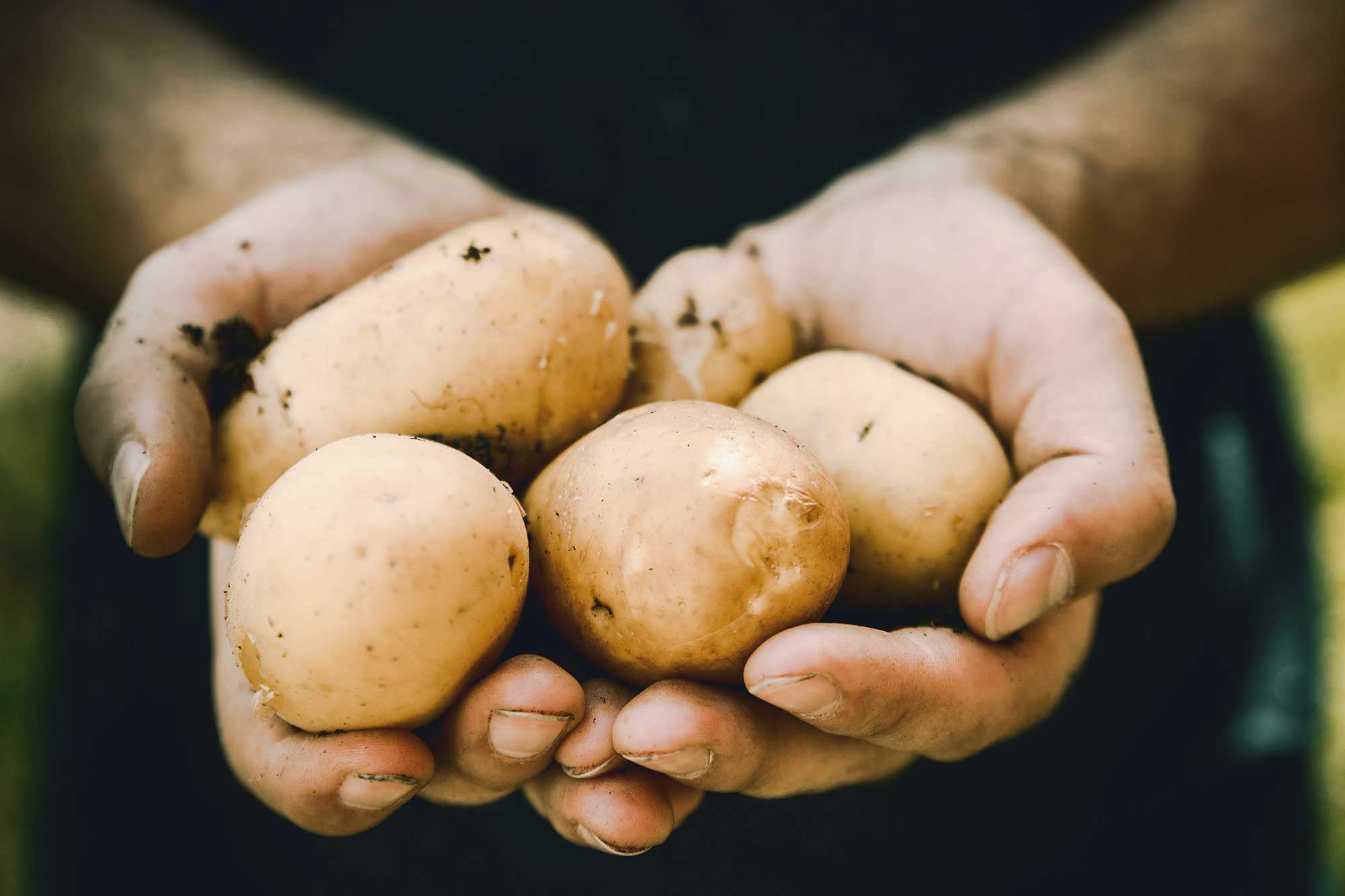 Person holding fresh potatoes in their hand