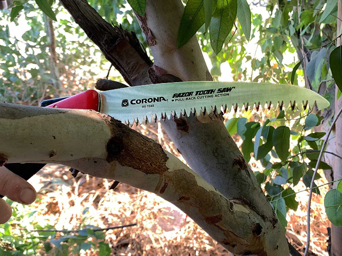 Using hand saw to clear branch off of tree
