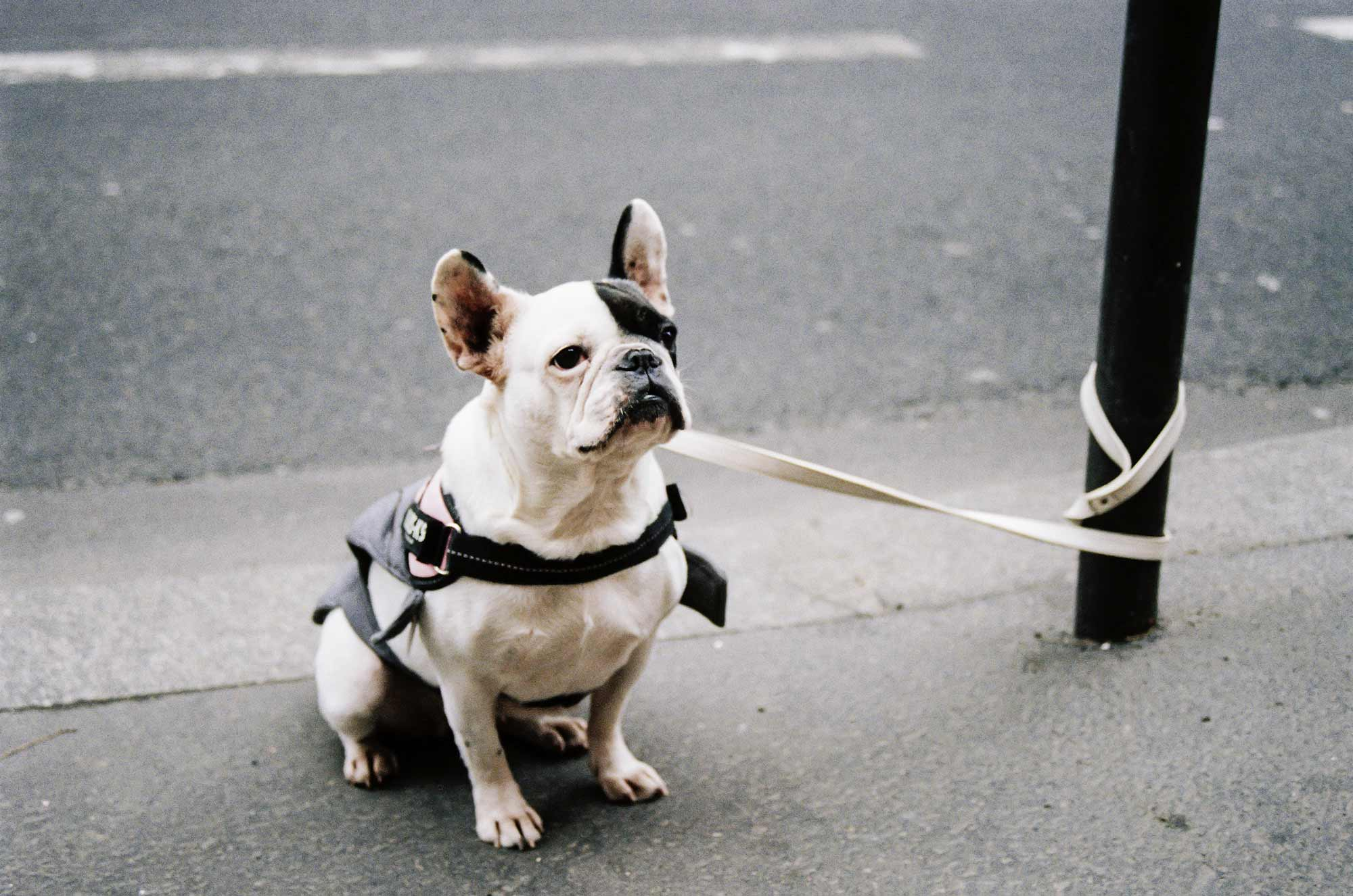 Adorable black-and-white French bulldog on a leash.