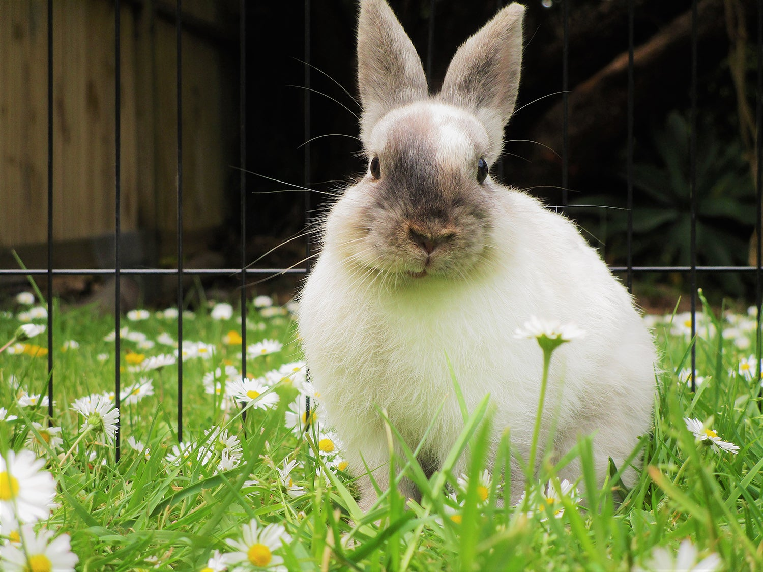 Bunny in small animal playpen for pets.