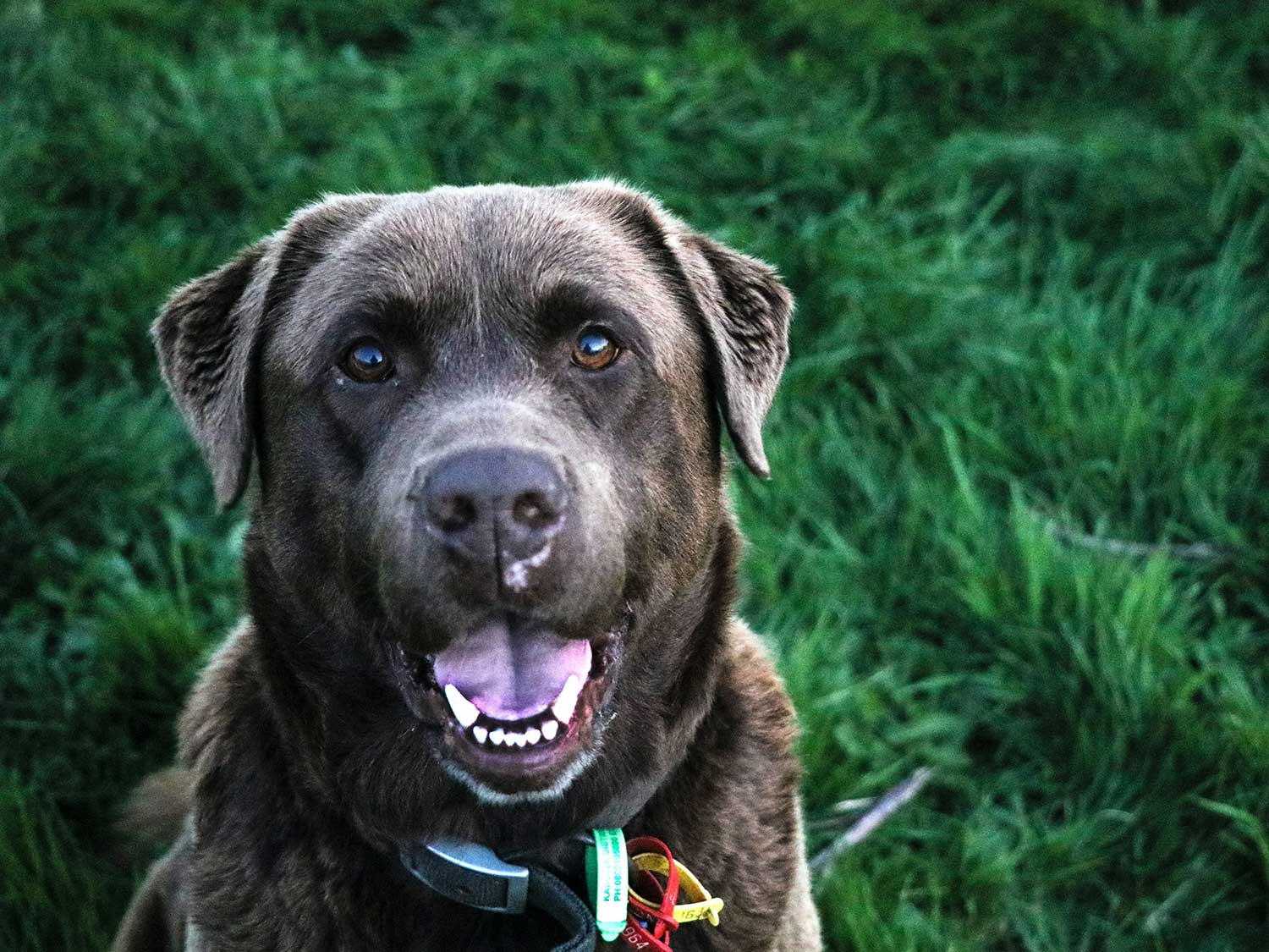 Dog with clean teeth sitting in grass.