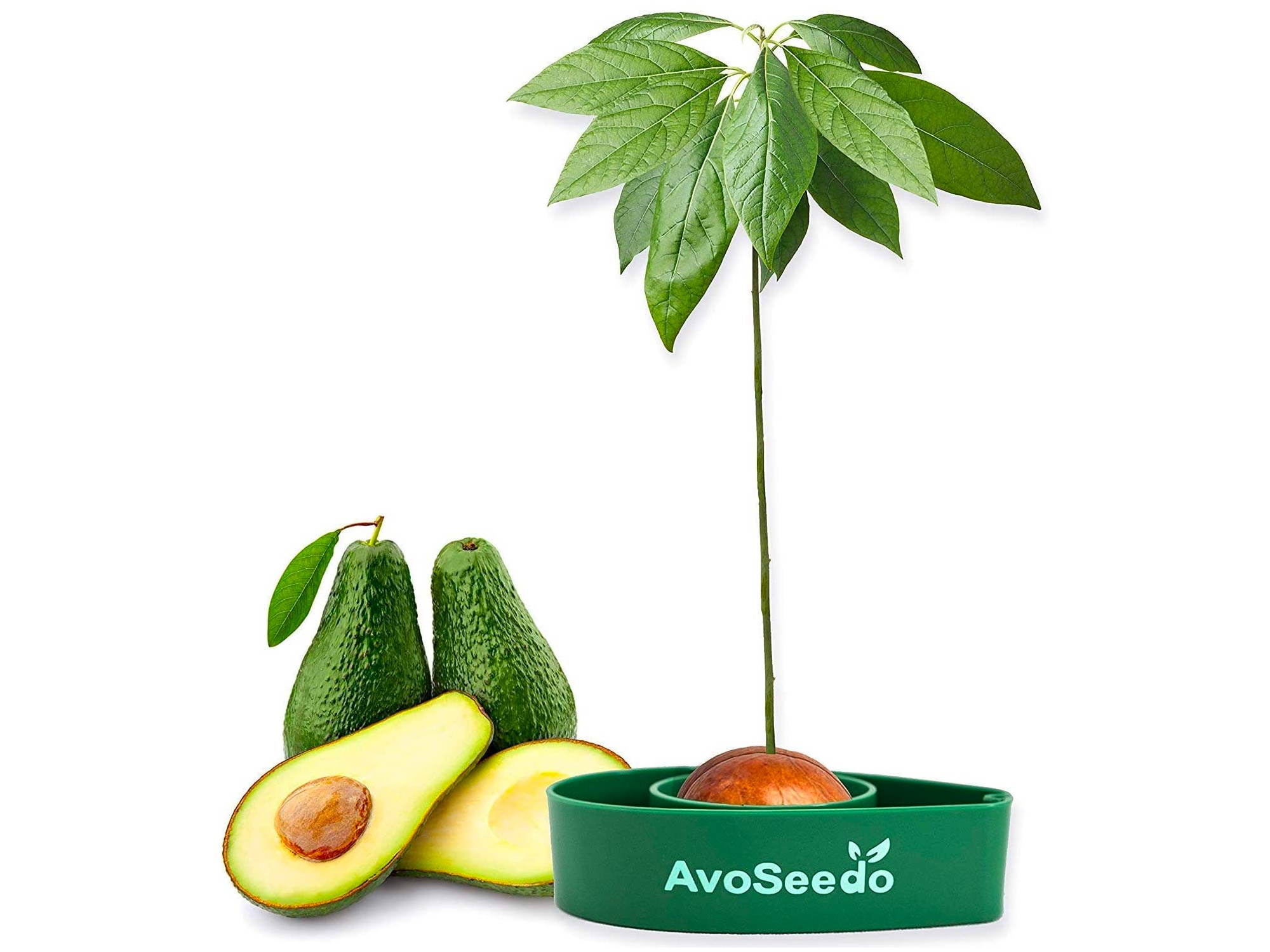 Avocado tree DIY kit