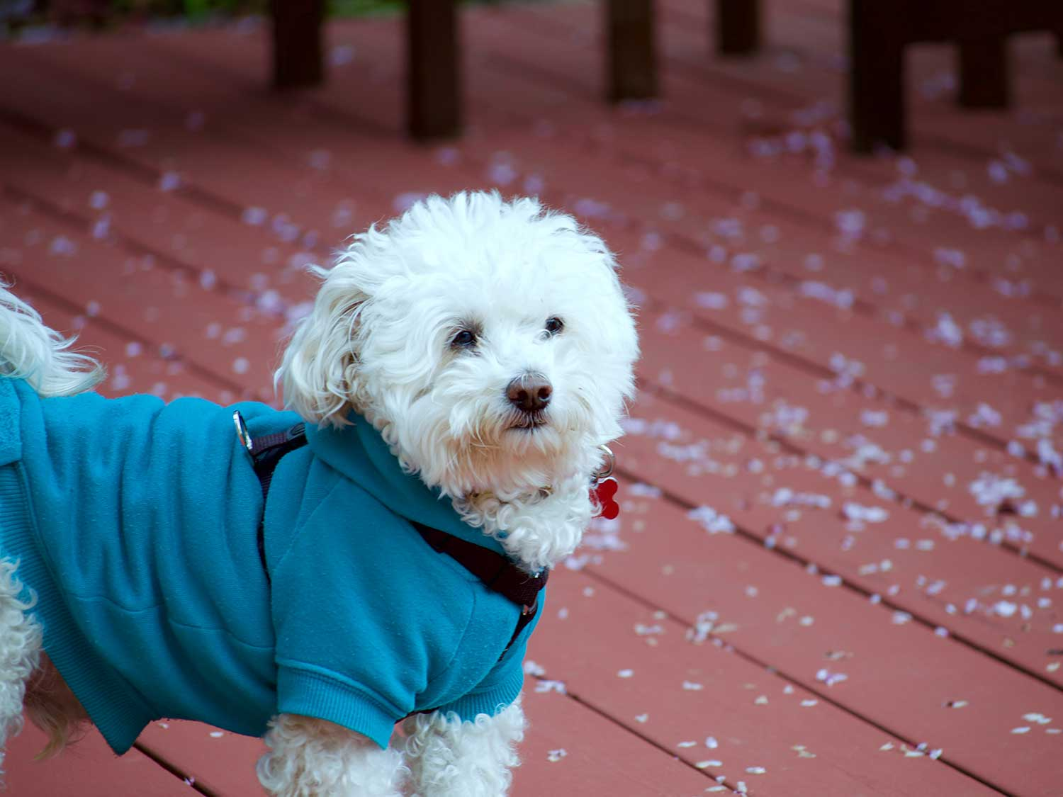 Dog outside in cold wearing jacket