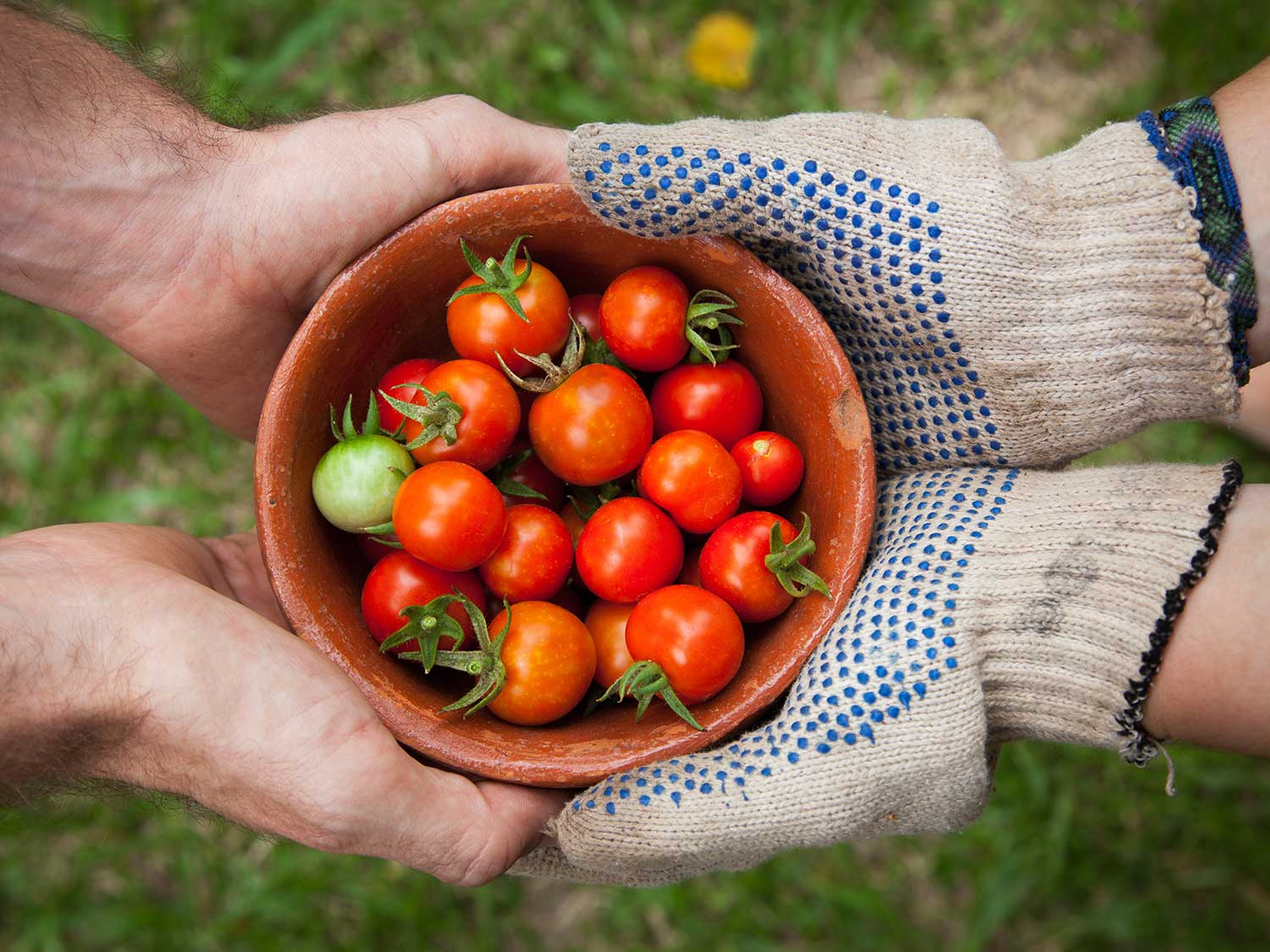 Wearing gardening gloves while holding bowl of tomatoes.