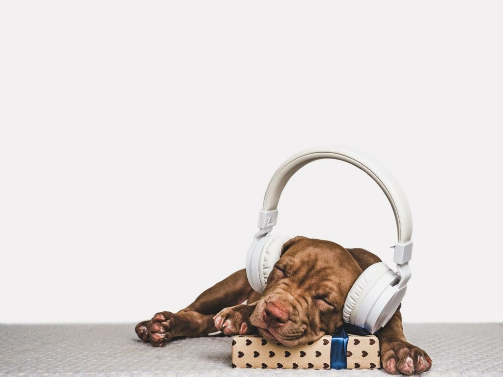 Pitbull sleeping with headphones on