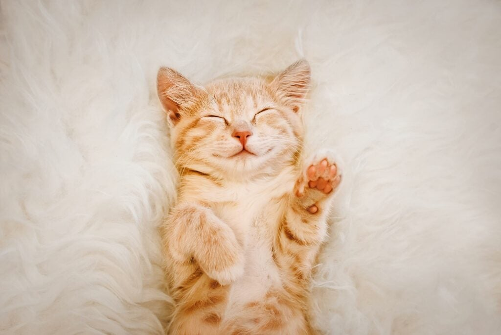 Adorable kitten sleeping on his back