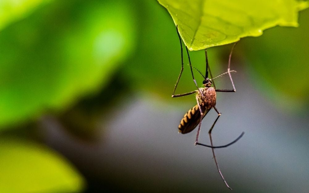 a brown mosquito caught and hung on a green leaf.