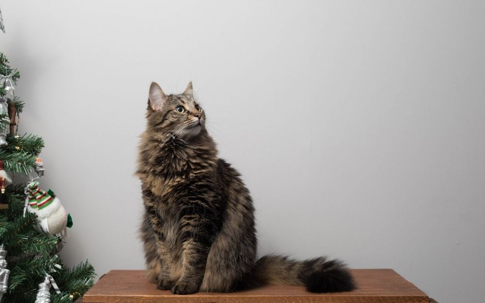 A gray cat with long hair and a long tail is sitting on a wooden table.
